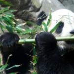 panda geant chine