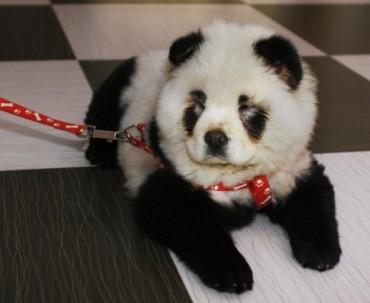 Un petit Panda très spécial