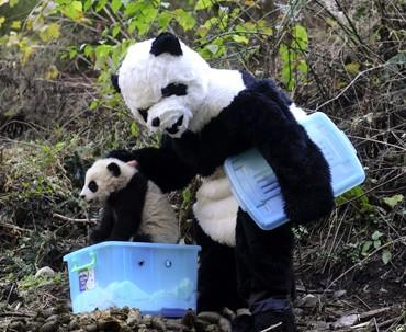 Des chercheurs chinois qui deviennent Maman panda