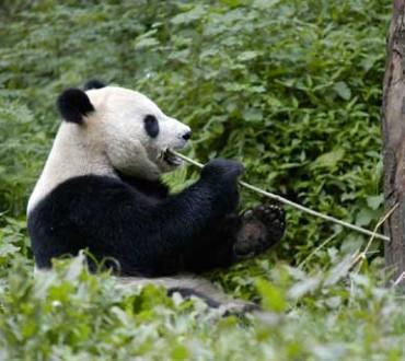 Une thérapie pour les pandas du Sichuan