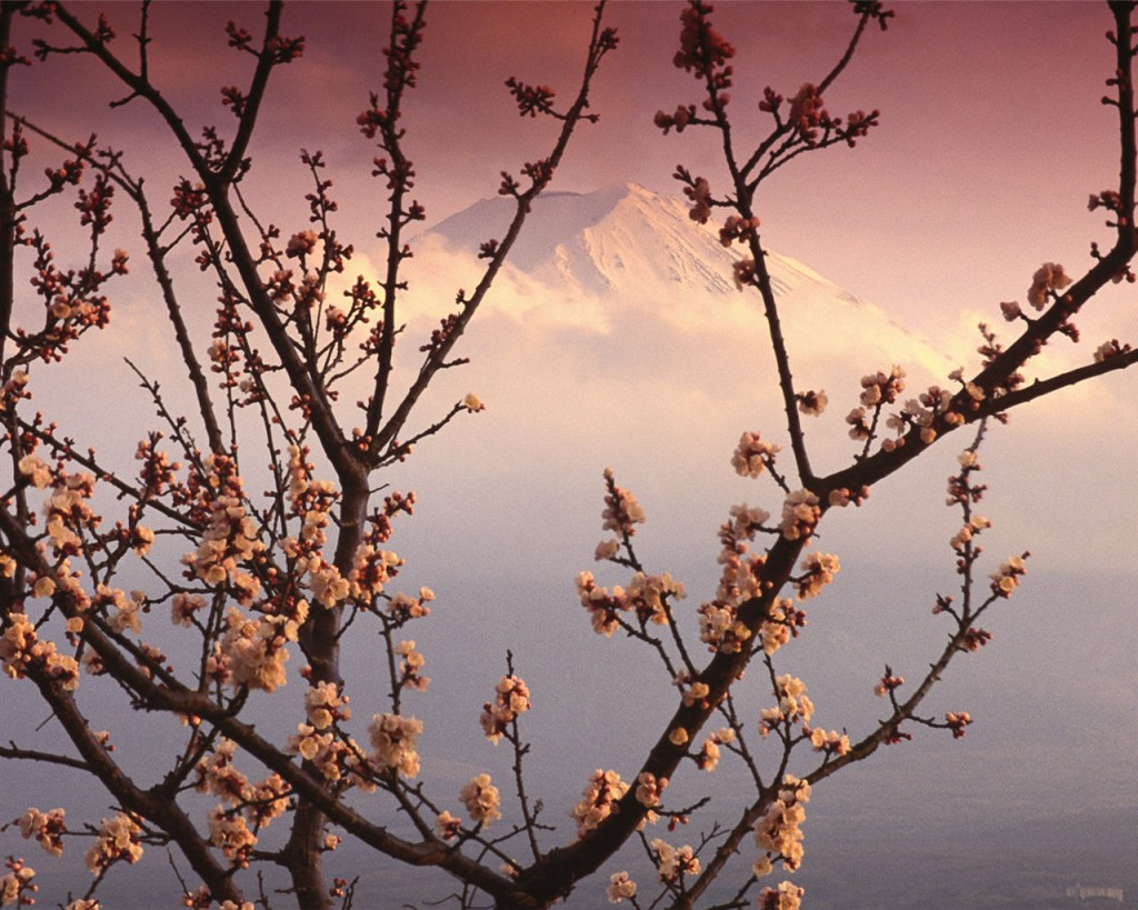 cerisierjaponaisg