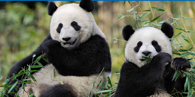 fedex express transporte deux pandas geants au zooparc de beauval 120112