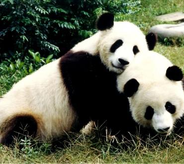 L'accouplement des pandas, un sujet à la mode des médias sociaux chinois