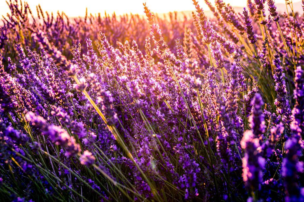 lavande Provence