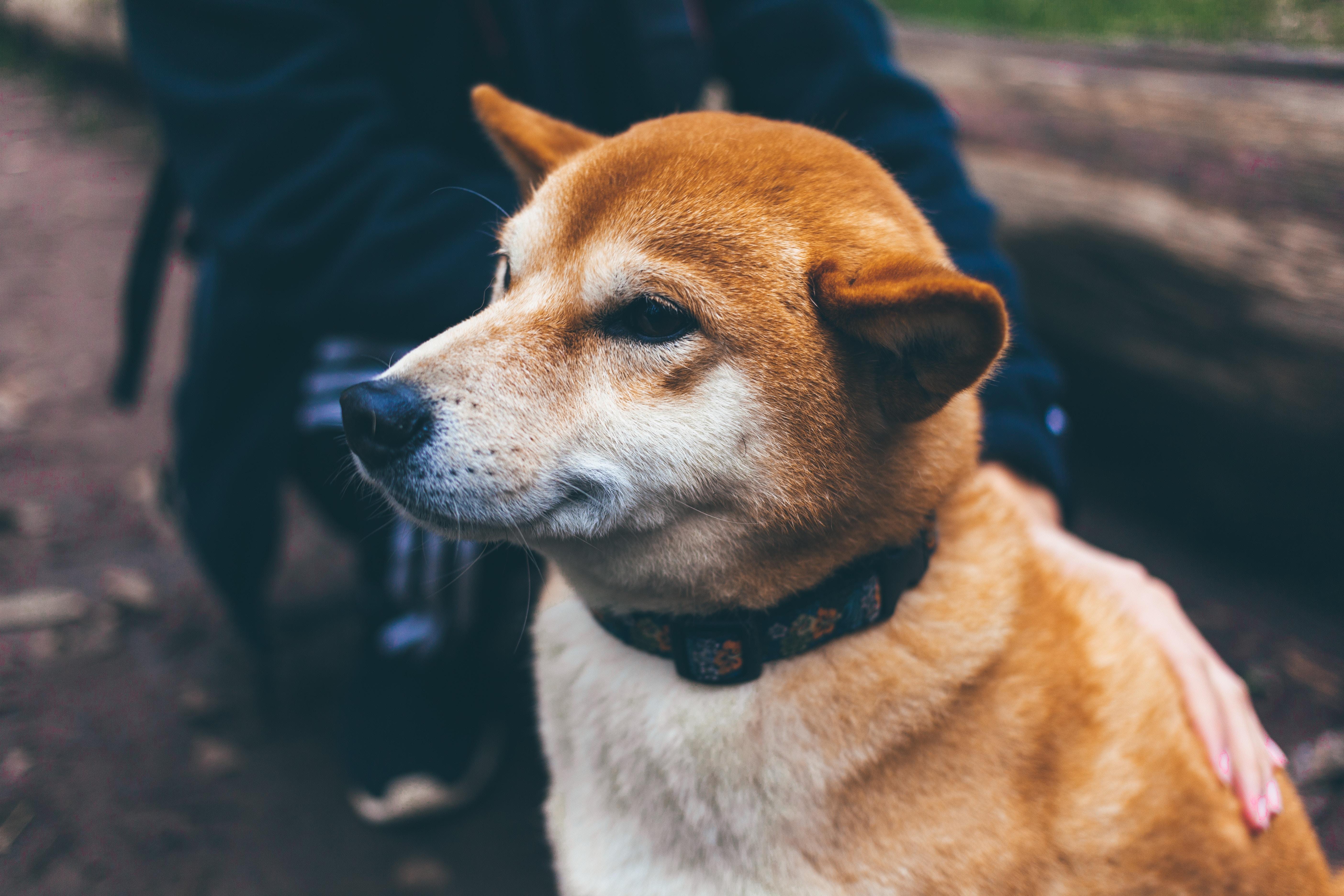 akita chien chine