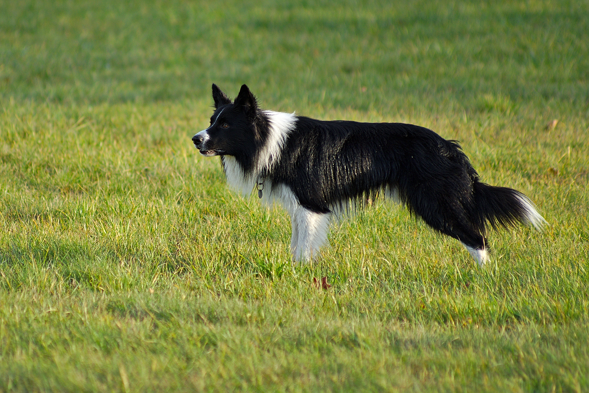 border collie Chine